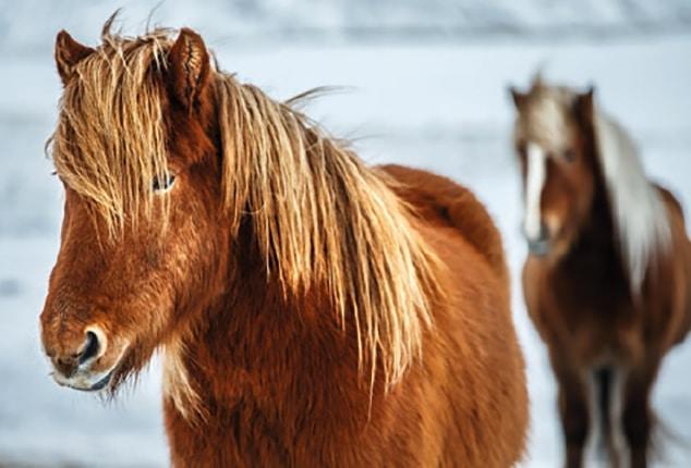 Pferdeanhänger, Sirius, Pferd, Farbe: braun, weiß, Aufnahme im Freien