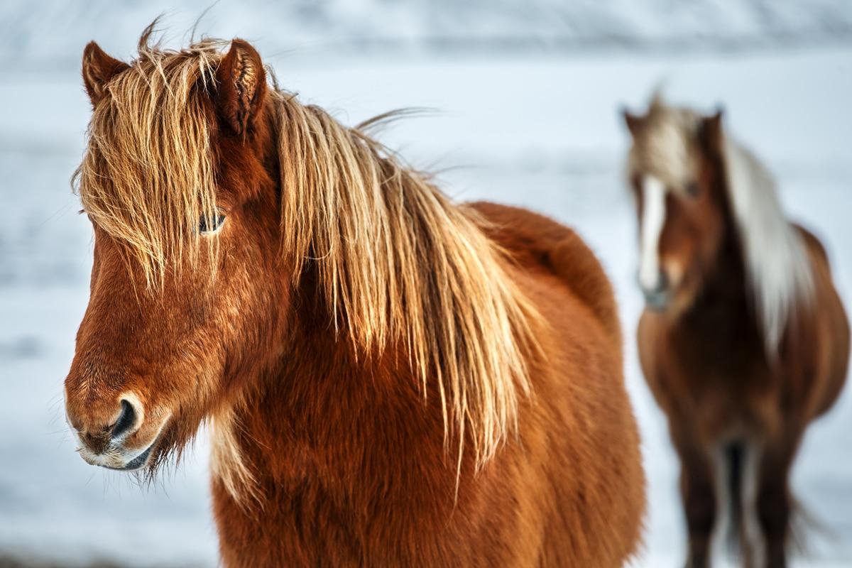 Anhänger Österreich, Pferdeanhänger, Sirius S71 Alu, Pferde, Aufnahme im freien, Ansicht von vorne